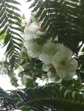 Eucryphia x nymansensis